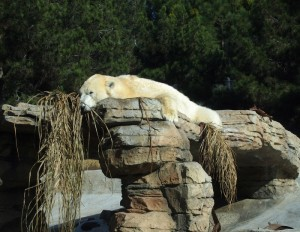 Lounging Polar Bear
