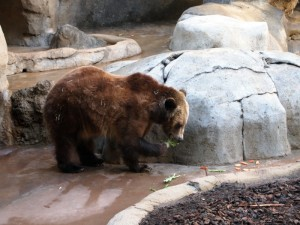 A Grizzly munching on kale