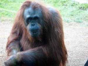 An curious Orangutan named Karen