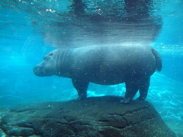 A Hippo taking an underwater nap