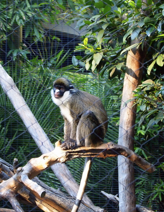 This one was called a Lesser Spot-nosed Guenon
