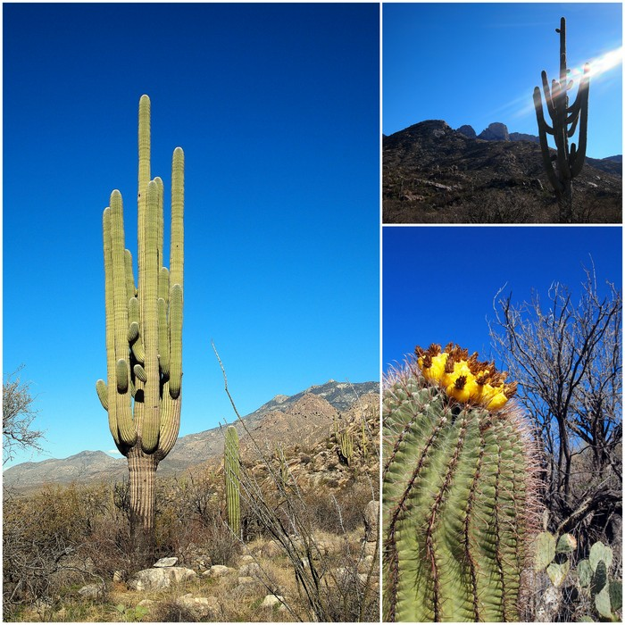 Overachieving saguaros and a giant barrel cactus with fruit