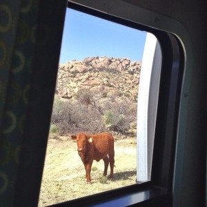 Visiting cattle