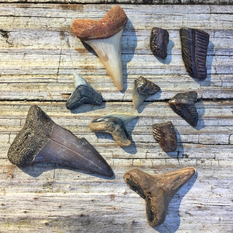 Fossilized Shark Teeth from the Potomac River