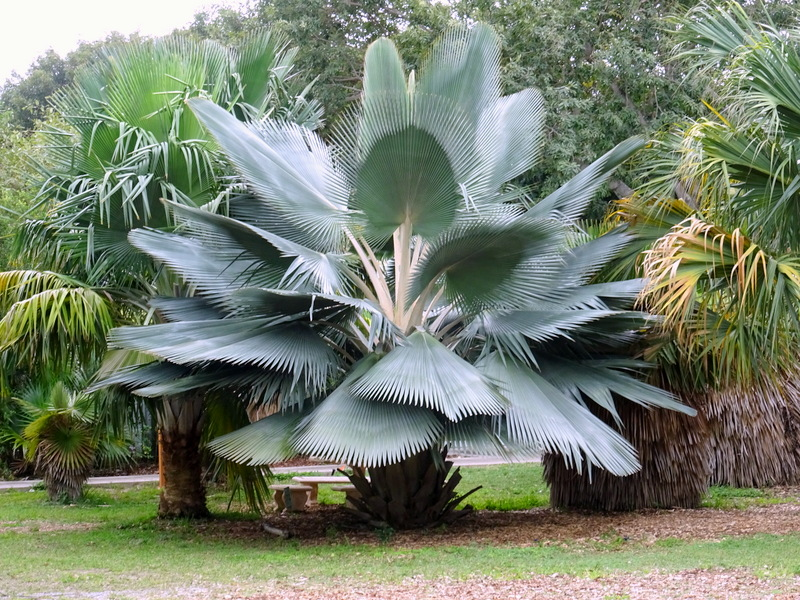 Wax Palm