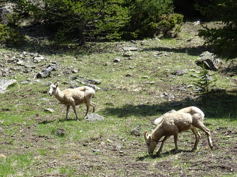 Mountain Goats in Rocky Mountain National Park