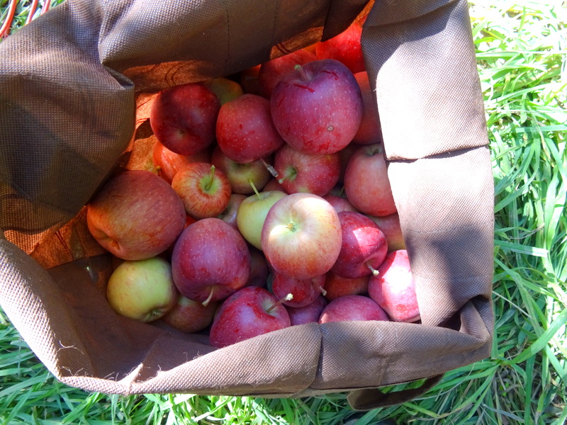 Apple Picking in Capitol Reef National Park