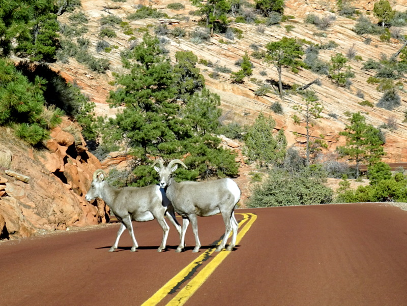 Bighorn Sheep - Zion National ParK