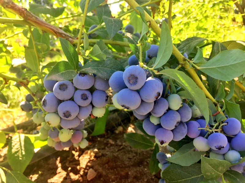 Blueberry Picking in Jefferson, OR
