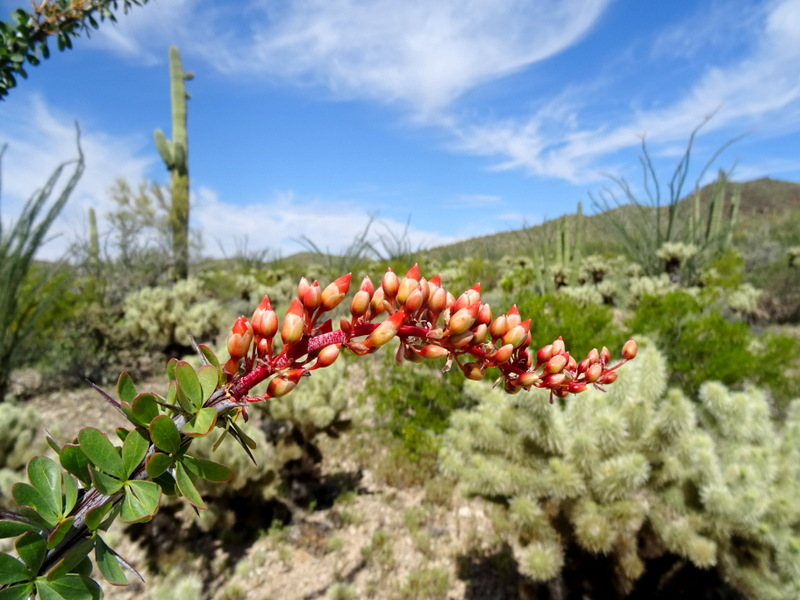 Ocotillo Flower in Organ Pipe Cactus National Monument